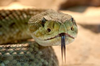 Фото: pixabay.com | Самая ядовитая змея приползла в популярное место отдыха в Приморье