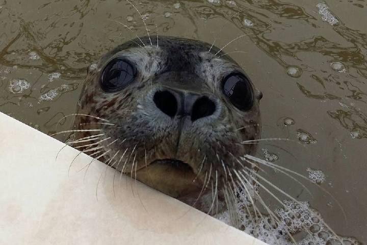 Два тюленя погибли вПриморье из-за жары