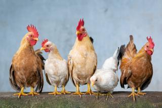 Фото: pixabay.com | В Приморский край вернется мясо птицы