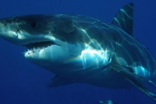 Фото: pixabay.com   «Чуть не утащила катер»: большая акула подошла к людям в районе Русского острова