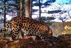 Фото: ФГБУ «Земля леопарда»   Любовные игры дальневосточных леопардов раскрыты в Приморье
