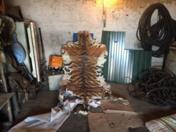 ВПриморье браконьеры убили тигра, апосле сняли снего шкуру