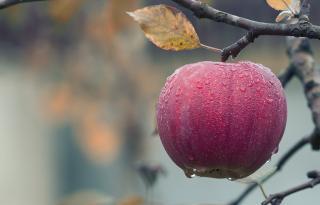 Фото: pixabay.com | В яблоке обнаружено шокирующее количество бактерий