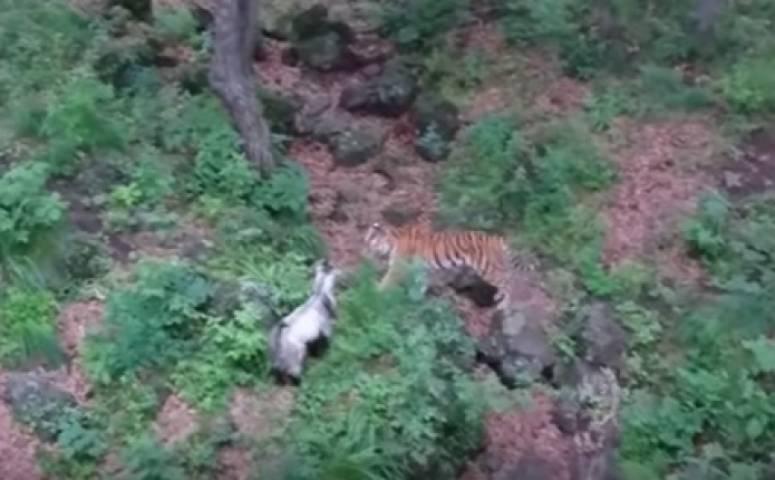 Невеста тигра Амура наслаждается совместным проживанием скозлом Туром