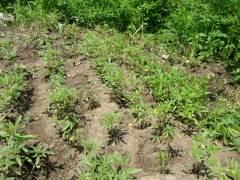 Плантацию маньчжурской конопли нашли полицейские возле поселка Пограничного