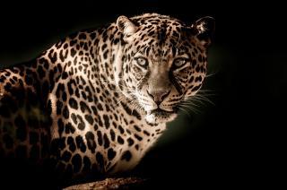 Фото: pixabay.com   Вот это охотник!: спасенный в Приморье леопард показал, на что способен (фото, видео)
