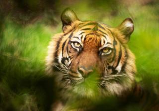 Фото: freepik.com | В приморском зоопарке выбирают имена для тигрят