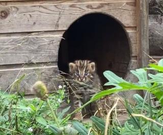 Фото: скриншот lionspark.ru | «У нас снова пополнение»: в приморском зоопарке родился дальневосточный лесной котенок (видео)
