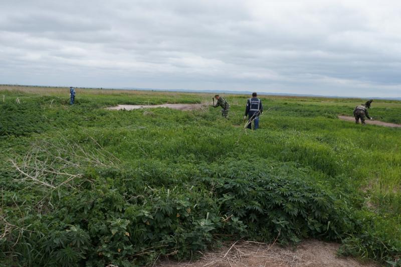 В Приморье уничтоженоболее 1,5 миллиона кустов дикорастущей конопли