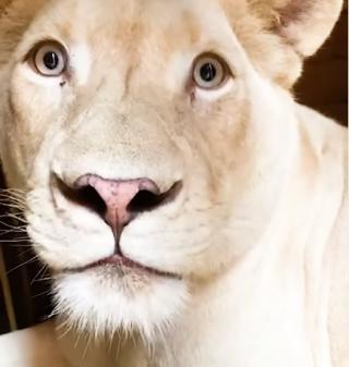 Фото: скриншот lionspark.ru   «Какой богатый год на потомства»: в Приморье редчайшая белая львица родила львят