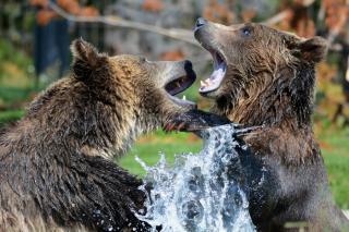 Фото: pixabay.com   Дальневосточные медведи «зажгли» перед фотоловушкой