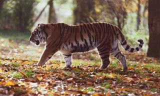 Фото: pixabay.com | Появление тигра вблизи населенных пунктов одного из районов Приморья встревожило местных жителей