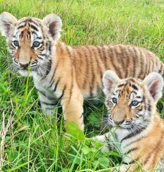 Фото: lionspark.ru | «Мечты сбываются»: приморцев приглашают познакомиться с тигрятами