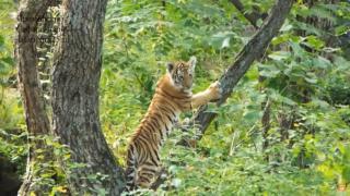 Фото: скриншот видео safaripark25   В Приморском сафари-парке подрастают амурские тигрята