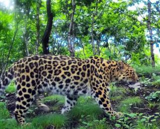 Фото: скриншот amurleo_land   Леопарды вновь удивили приморцев