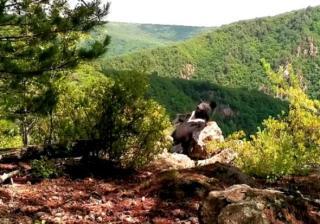 Фото: скриншот amurleo_land | «Гимнаст и телеоператор в одном лице»: приморцев поразили таланты медведя из нацпарка