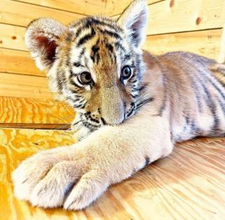 Фото: @lionspark | Известные тигрята приглашают приморцев в гости на выходных
