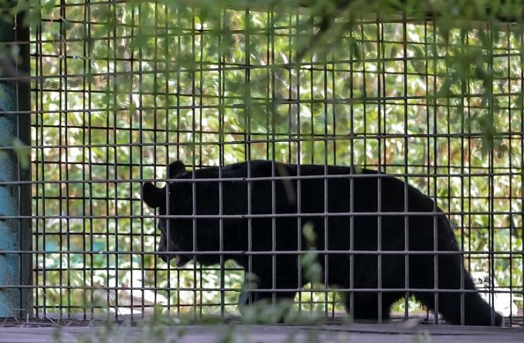 В Приморье на свободу выпустили двух гималайских медвежат-сирот