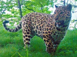 Фото: leopard-land | 13 видов животных России находятся под угрозой исчезновения