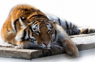 Тест PRIMPRESS: Тигры в городе