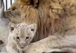 Фото: lionspark.ru   В Приморье белая львица отказалась от своего львенка
