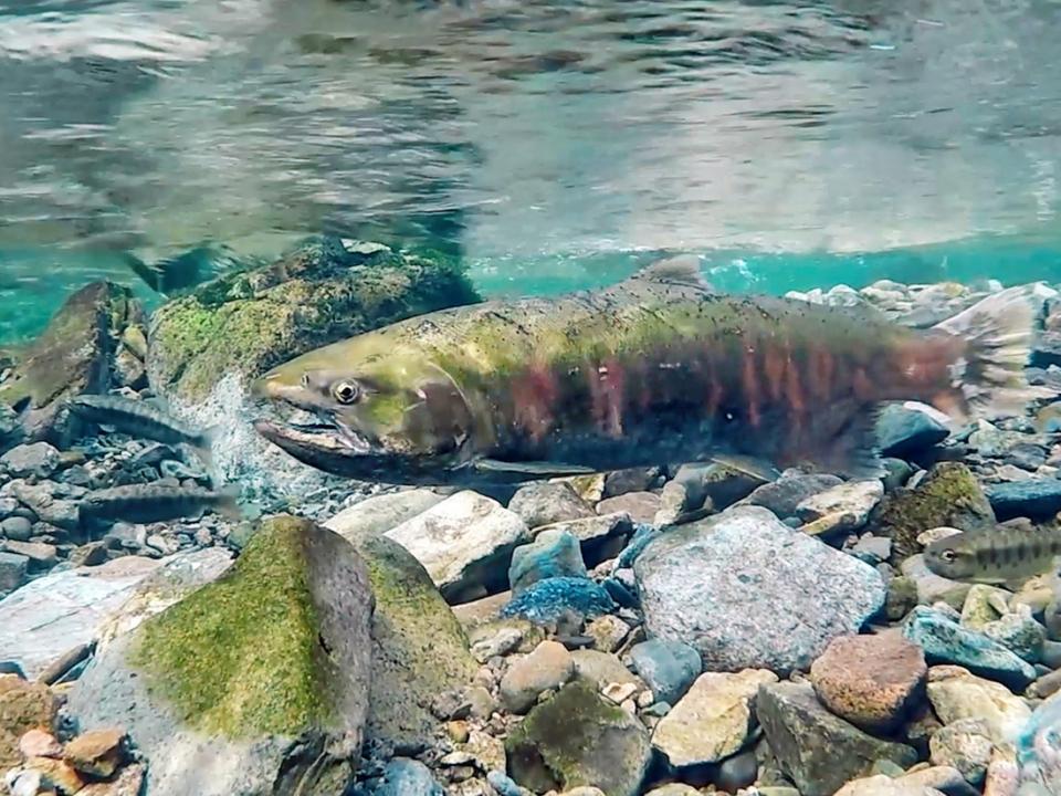 Самый теплолюбивый лосось успешно отнерестился в реках «Земли леопарда»