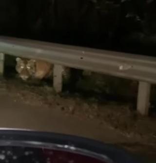 Фото: @amurtigercenter | «Кушать хочет поздней ночью»: приморцев напугал тигр на дороге