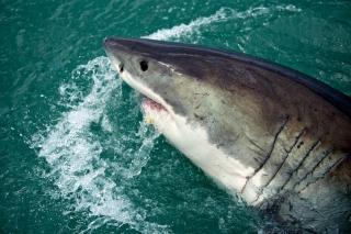 Фото: pixabay.com | «Полтела откусила сразу»: итог нападения акулы сняли на видео в Приморье