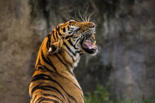 Фото: pixabay.com | Тигрица напала на людей в Приморье, но они оказались умнее