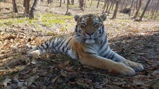 Фото: «Реми» | Торговая сеть «Реми» поддерживает защиту редких тигров