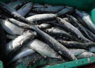 Фото: pixabay.com | Приморские рыбаки приступили к промыслу сельди в Охотском море