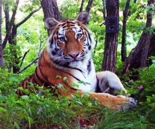 Фото: amurleo_land | «Сейчас все хорошо». В Центре «Амурский тигр» продолжается реабилитация тигра после операции