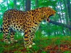 Фото: Пресс-служба национального парка «Земля леопарда» | Краснокнижный обитатель «Земли леопарда» получил имя и обрел хранителя
