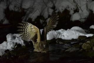 Фото: pixabay.com | Редкое зрелище: в Сихоте-Алинском заповеднике на видео попала одна из редчайших сов