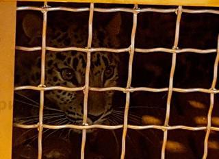 Украинская леопардесса поселится в Приморском сафари-парке