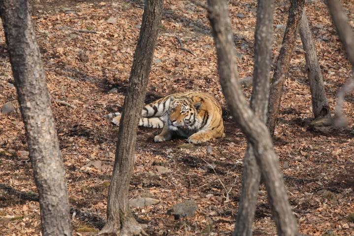 На дорогах Владивостока гуляет тигр