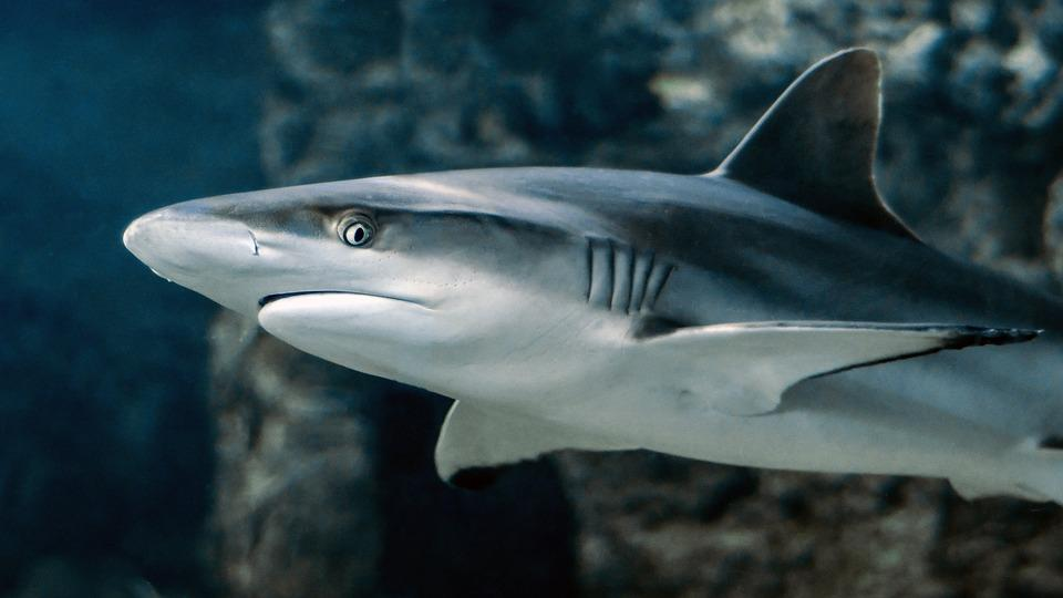 Опасная акула едва не попала на прилавки в Приморье