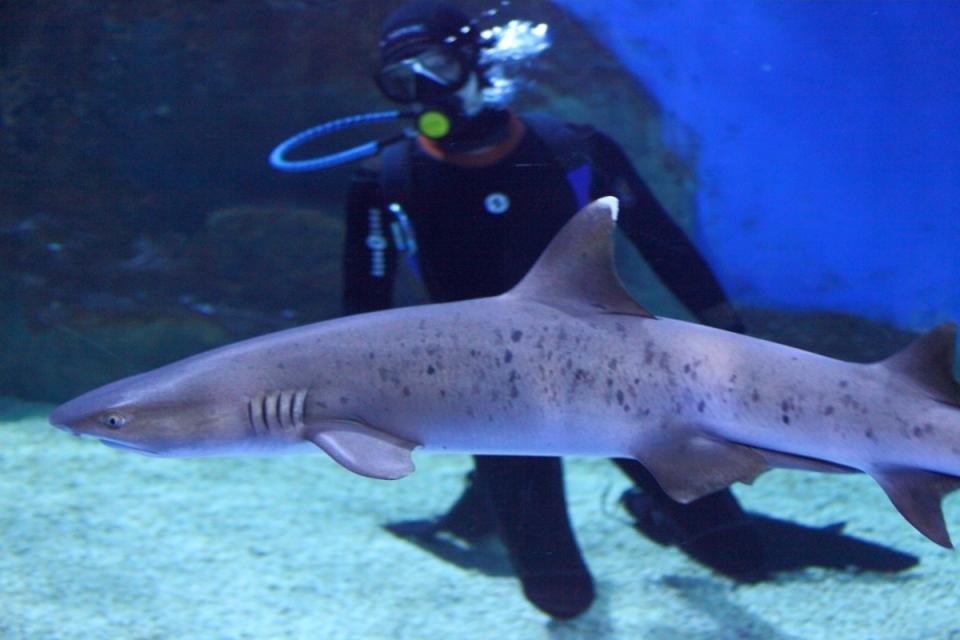 Экспозиция Приморского океанариума пополнилась новыми акулами