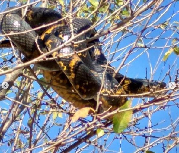В Приморье с дерева сняли амурского полоза