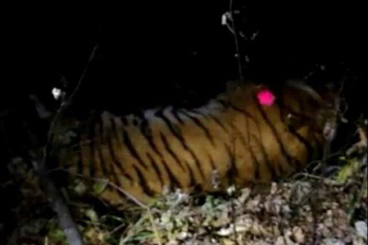 ВоВладивостоке словили амурского тигра