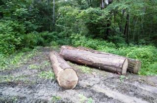 С начала года в Приморье выявлено почти 200 незаконных рубок леса