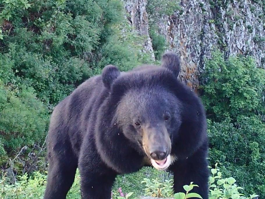 Любопытный медведь попытался проверить фотоловушку на«Земле леопарда»