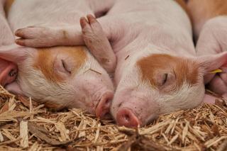 Фото: pixabay.com   В Приморье выявили еще три новых случая заболевания вирусом африканской чумы у свиней