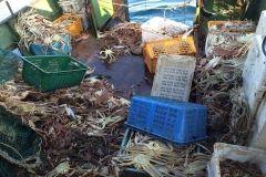Фото: Пограничное управление ФСБ России по Приморскому краю | Житель Находки незаконно выловил около 800 особей синего краба