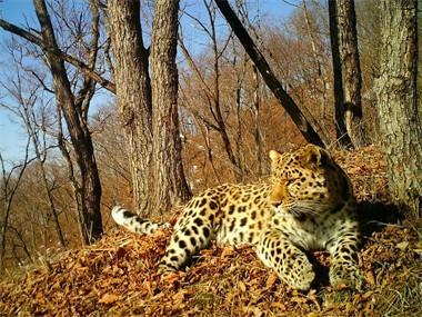 Впервые на камеру получилось записать рев дальневосточного леопарда