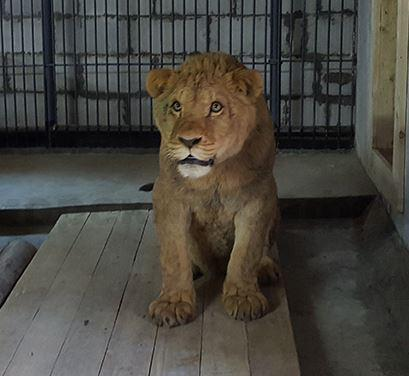 4  африканских льва поселились вПриморье Видео