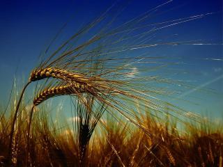 Фото: pixabay.com   Приморский фермер неправильно хранил зерно