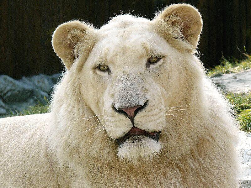 «Они рожали»: владивостокский дрессировщик ответил зрителям, назвавших его львиц жирными