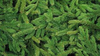 Фото: pixabay.com | Ель, сосна или пихта? Как выбрать живое рождественское дерево?