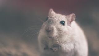 Фото: pixabay.com   10 необычных фактов о крысах